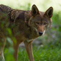 Screening: Red Wolf Revival