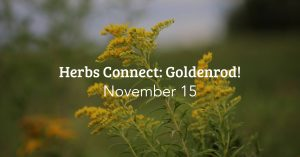 Herbs Connect: Goldenrod