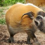New Red River Hogs Exhibit