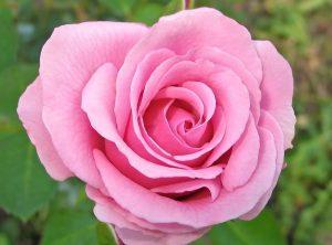 Old Garden Rose Sale