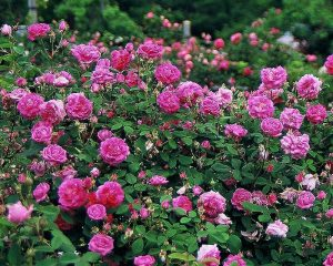 First Friday Lecture Series: Old Garden Roses