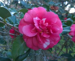 A Walk Through the Camellias