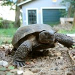 Florida Gopher Tortoise Day