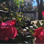 Goodwood Rose Sale